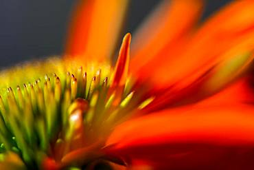 Red coneflower (Echinacea), seminal state with petals, detail of the flower, Bavaria, Germany, Europe - 832-385768