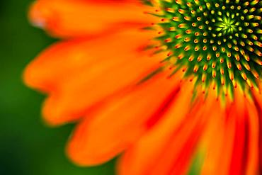 Red coneflower (Echinacea), seminal state with petals, detail of the flower, Bavaria, Germany, Europe