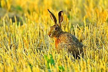 European hare (Lepus europaeus) sitting in a stubble field, Burgenland, Austria, Europe