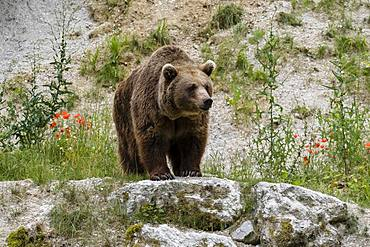 Brown bear (Ursus arctos) stands on rocks, captive, Upper Austria, Austria, Europe