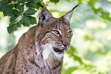 Eurasian lynx (Lynx lynx), animal portrait, attentive, captive, Upper Austria, Austria, Europe