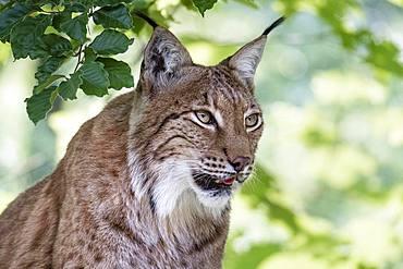 Eurasian lynx (Lynx lynx), animal portrait, attentive, captive, Upper Austria, Austria, Europe