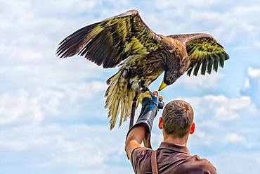 Falconer with eagle on his arm, Plauen, Vogtland, Saxony, Germany, Europe