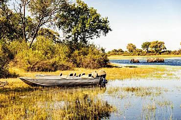 Boat on riverbank, elephants (Loxodonta africana) swimming in river, Okavango Delta, Botswana, Africa
