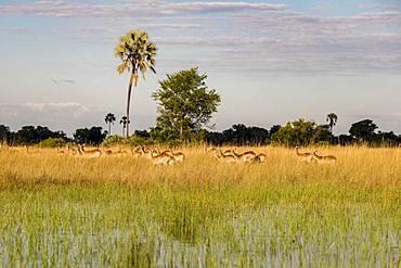 Impalas (Aepyceros melampus), herd runs through high grass in swamp area, Okavango Delta, Botswana, Africa