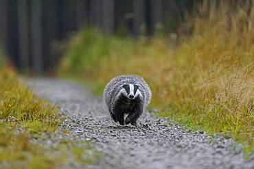 European badger (Meles meles), runs on a forest road in rain, Sumava National Park, Bohemian Forest, Czech Republic, Europe