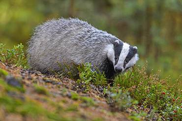 European badger (Meles meles), searching for food between heather, Sumava National Park, Bohemian Forest, Czech Republic, Europe