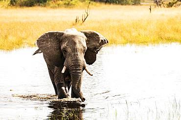 African elephant (Loxodonta africana) in water, Okavango Delta, Botswana, Africa