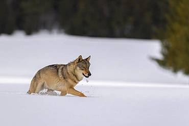 Gray wolf (Canis lupus), runs over a clearing in deep snow, Sumava National Park, Bohemian Forest, Czech Republic, Europe