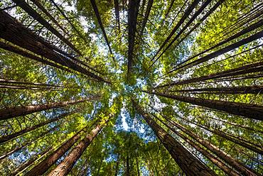 View from below into the treetops, Redwood Forest, Sequoia sempervirens (Sequoia sempervirens), Whakarewarewa Forest, Rotorua, North Island, New Zealand, Oceania