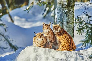 Eurasian lynx (Lynx lynx) in winter, captive, Bavarian Forest National Park, Bavaria, Germany, Europe