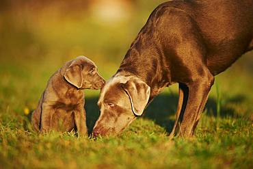 Labrador Retriever, dam with puppy on a meadow, Germany, Europe