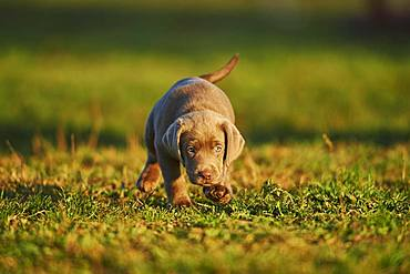 Labrador Retriever puppy walking on a meadow, Germany, Europe