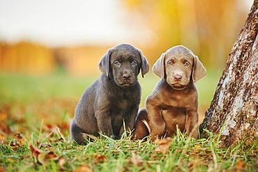 Labrador Retriever, two puppies on a meadow, Germany, Europe