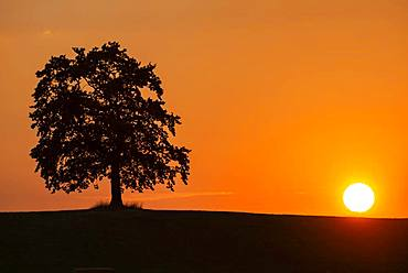 Oak at sunset, Muensing, silhouette, Upper Bavaria, Bavaria, Germany, Europe