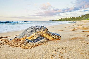Green sea turtle (Chelonia mydas) on turtle bay, Laniakea Beach, Hawaiian Island Oahu, Oahu, Hawaii, Aloha State, USA, North America