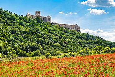 Poppy seed meadow, Convent and Basilica of San Francesco, Assisi, Province of Perugia, Umbria, Italy, Europe