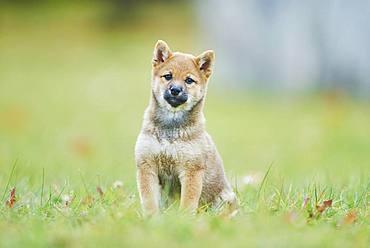 Shiba, puppy sitting on a meadow, Germany, Europe