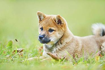 Shiba, puppy lying in a meadow, Germany, Europe