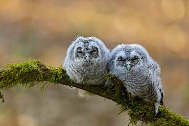 Tawny owl (Strix aluco), young birds, young branches sleeping on a branch, Siegerland, North Rhine-Westphalia, Germany, Europe