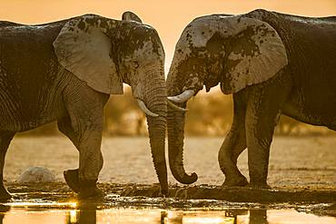 Two African elephants (Loxodonta africana) at a waterhole, Nxai Pan National Park, Ngamiland, Botswana, Africa