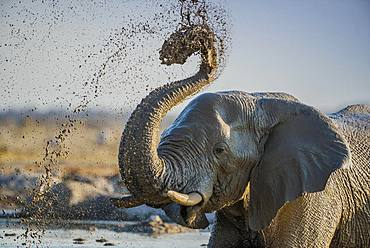 African elephant (Loxodonta africana) splashing mud at a waterhole, animal portrait, Nxai Pan National Park, Ngamiland, Botswana, Africa