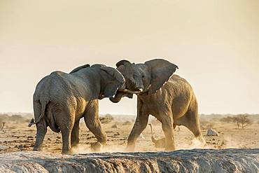 African elephants (Loxodonta africana) fighting at a waterhole, Nxai Pan National Park, Ngamiland, Botswana, Africa