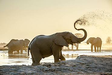 African elephants (Loxodonta africana), sprayed with mud at a waterhole, Nxai Pan National Park, Ngamiland, Botswana, Africa