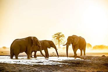 African elephants (Loxodonta africana), Group of animals at a waterhole, Sunset, Nxai Pan National Park, Ngamiland, Botswana, Africa