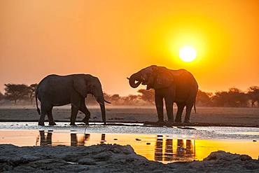 Two African elephants (Loxodonta africana) at sunset in backlight at a waterhole, Nxai Pan National Park, Ngamiland, Botswana, Africa