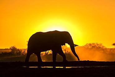 African elephant (Loxodonta africana) in backlight in front of setting sun, Nxai Pan National Park, Ngamiland, Botswana, Africa