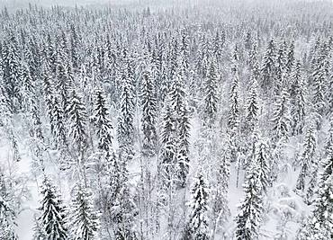 Drone shot, snow-covered trees in the arctic forest, Hammerdal, Jaemtlands laen, Sweden, Europe