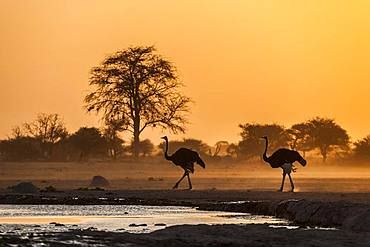Common ostriches (Struthio camelus), two animals at sunset at a waterhole, Nxai Pan National Park, Ngamiland, Botswana, Africa