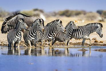 Burchell's Zebras (Equus quagga burchelli) at a waterhole, behind Blue wildebeest (Connochaetes taurinus), Nxai Pan National Park, Ngamiland, Botswana, Africa