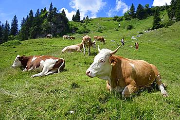 Hikers in the midst of a herd of cows on the ascent to the summit of the Geigelstein, Sachrang, Chiemgau, Upper Bavaria, Bavaria, Germany, Europe