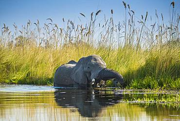 African elephant (Loxodonta africana), standing in the water and eating, Okavango Delta, Moremi Wildlife Reserve, Ngamiland, Botswana, Africa