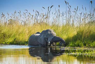 African elephant (Loxodonta africana), standing in the water and eating, Okavango Delta, Moremi Wildlife Reserve, Ngamiland, Botswana, Africa
