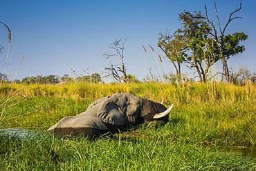 African elephant (Loxodonta africana), standing in the water and eating, swamp, Okavango Delta, Moremi Wildlife Reserve, Ngamiland, Botswana, Africa