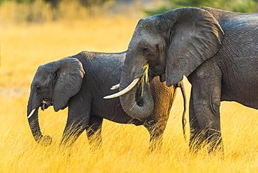 African elephants (Loxodonta africana), adult and juvenile feeding, Moremi Wildlife Reserve, Ngamiland, Botswana, Africa