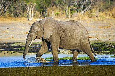 African elephant (Loxodonta africana) runs through water, waterhole, Moremi Wildlife Reserve, Ngamiland, Botswana, Africa