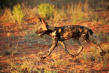 African wild dog (Lycaon pictus), adult, running, Tswalu Game Reserve, Kalahari, North Cape, South Africa, Africa