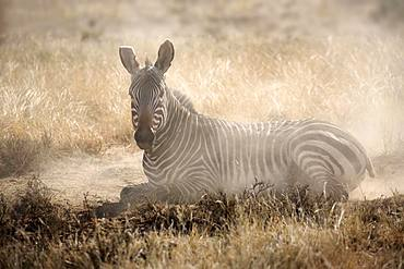Cape mountain zebra (Equus zebra zebra), adult, during sandbath, Mountain Zebra National Park, Eastern Cape, South Africa, Africa