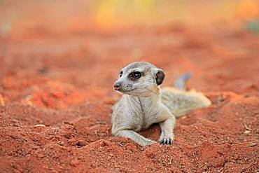 Meerkat (Suricata suricatta), adult, lying in the sand, Tswalu Game Reserve, Kalahari, North Cape, South Africa, Africa
