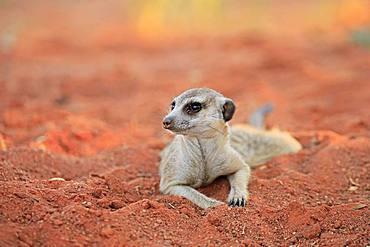 Meerkat (Suricata suricatta), adult, lying in the sand, Tswalu Game Reserve, Kalahari, North Cape, South Africa, Africa