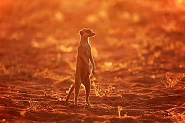 Meerkat (Suricata suricatta), adult standing upright, vigilant, backlight, Tswalu Game Reserve, Kalahari, North Cape, South Africa, Africa