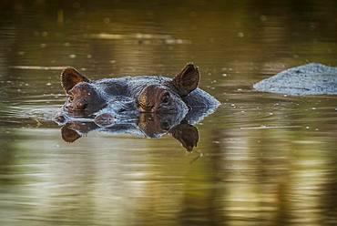 Hippo (Hippopotamus amphibius), located in shallow water, Moremi Wildlife Reserve, Ngamiland, Botswana, Africa