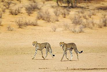 Cheetahs (Acinonyx jubatus), two subadult males, roaming in the dry and barren Auob riverbed, Kalahari Desert, Kgalagadi Transfrontier Park, South Africa, Africa