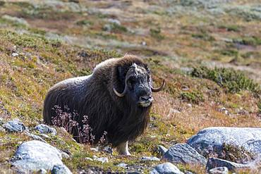 Musk ox (Ovibos moschatus) in autumn landscape, Fjaell, male, Dovrefjell-Sunndalsfjella National Park, Norway, Europe