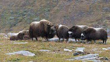 Musk oxes (Ovibos moschatus) in autumn landscape, Fjaell, Herd, Dovrefjell-Sunndalsfjella National Park, Norway, Europe