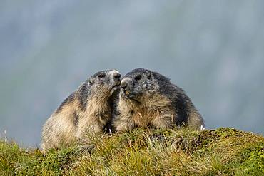 Alpine Marmots (Marmota marmota), greet each other, Grossglockner, Hohe Tauern National Park, Carinthia, Austria, Europe